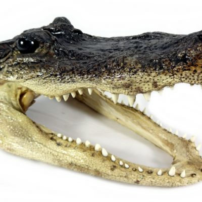 real-alligator-heads-medium-1404176151-jpg