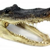 real-alligator-heads-medium-1404176151-jpg